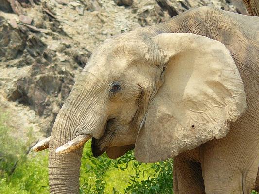 Elephant du Namib