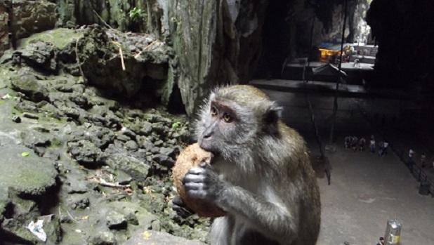 Malaisie 2014 : les singes de Batu Caves