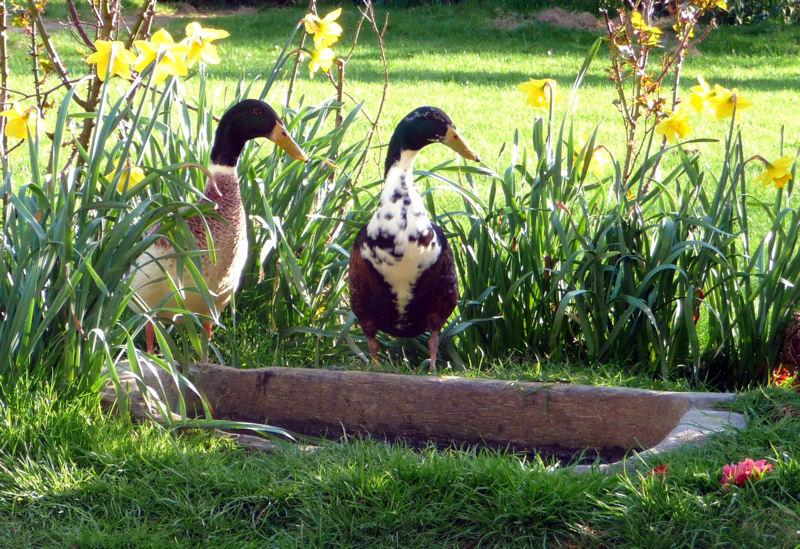 Les canards à la piscine