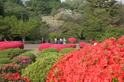 Rhododendrons (ou Azalées)