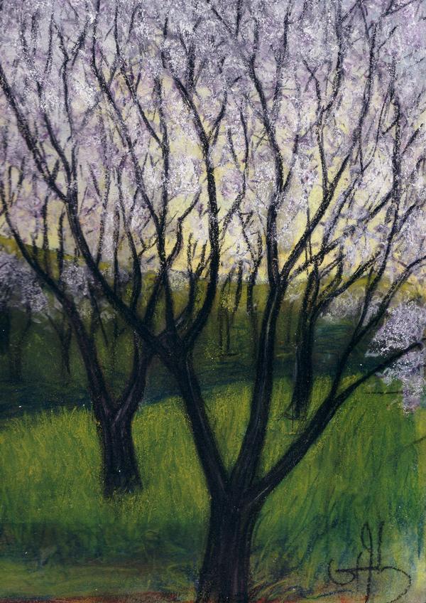 printemps. cerisiers en fleurs.
