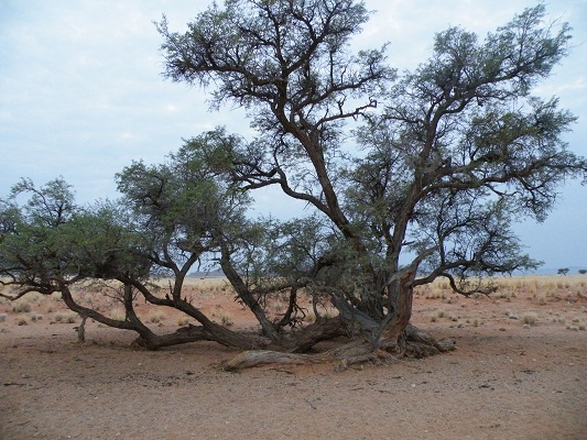 L'arbre du Kalahari