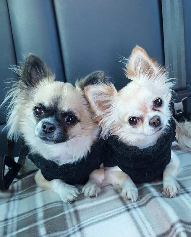 Lily-Rose et Lola. Chihuahuas. 3 ans.