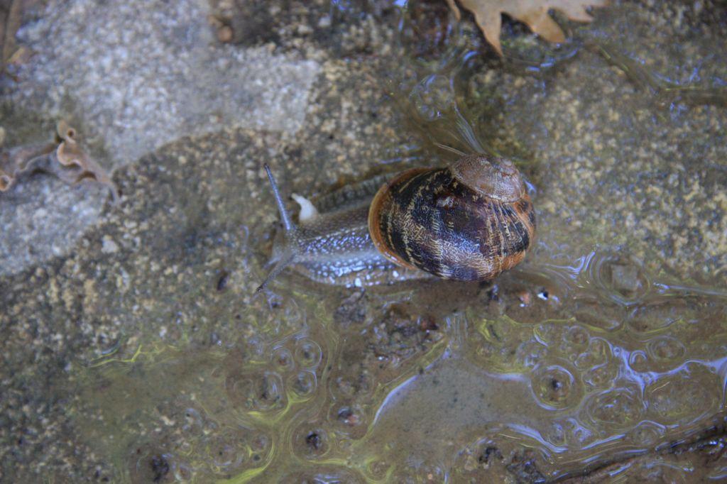 L'escargot à trois cornes