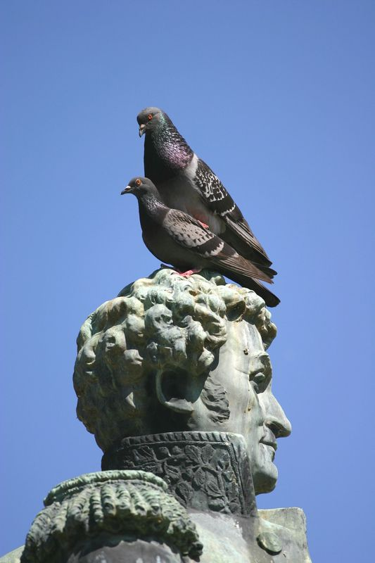 Pigeons HLM