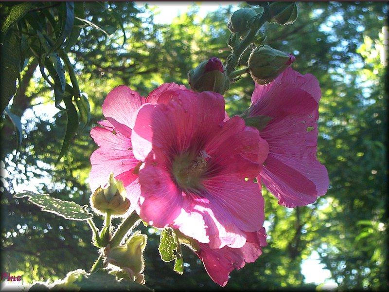 C'est une rose trémière
